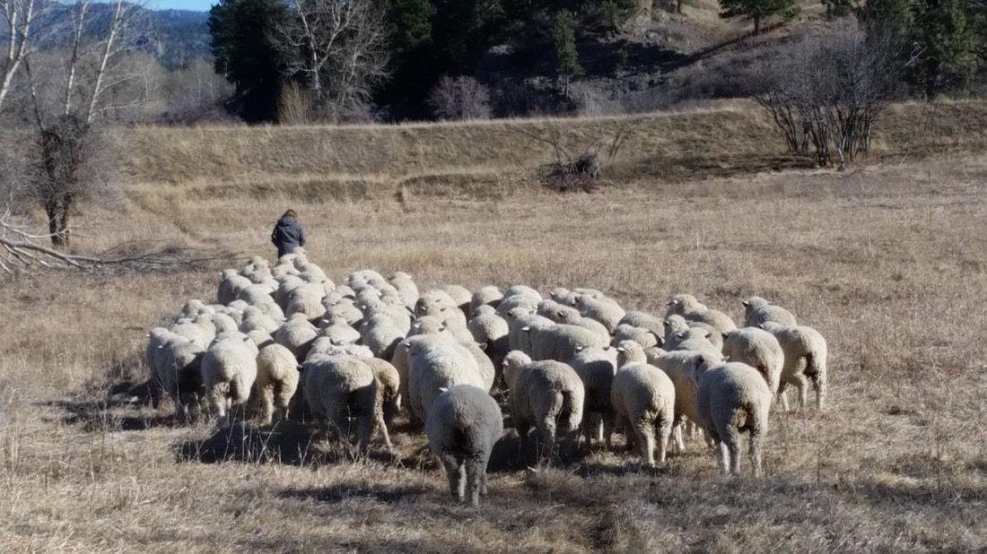 Montana Columbia Sheep Breeders Association - Montana Columbia Sheep